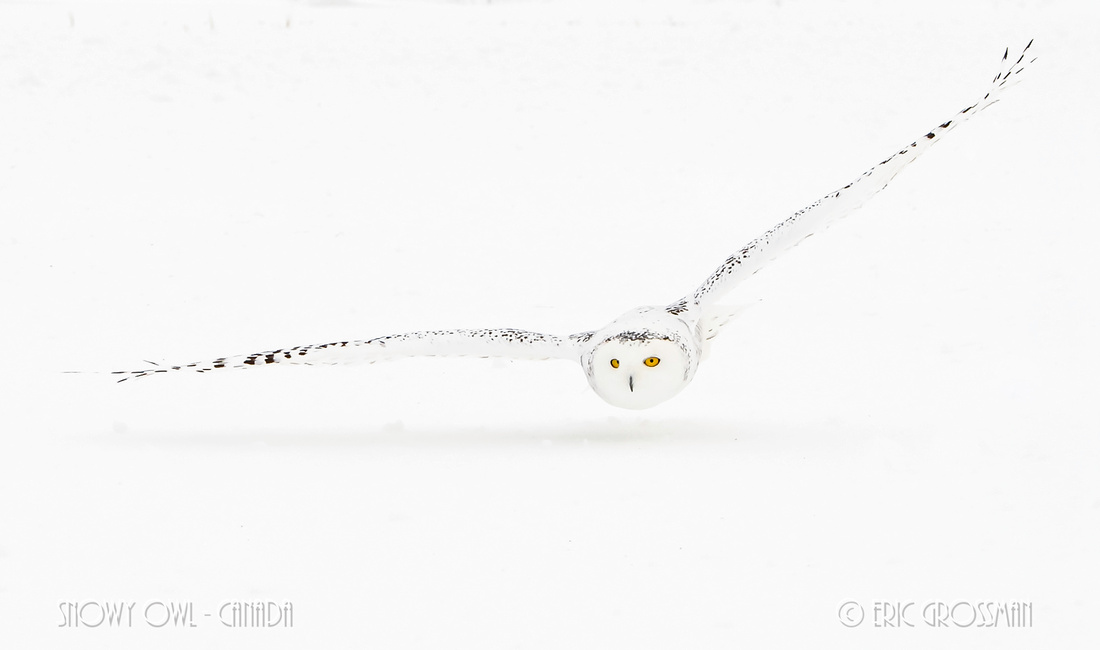 Snowy Owl Canada - Eric Grossman