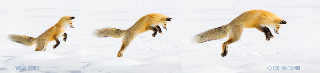 Fox Winter Hunt at Yellowstone - Eric Grossman